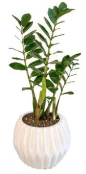 گیاه در خانه-گیاه طبیعی زامیفولیا گل گیفت کد GP005
