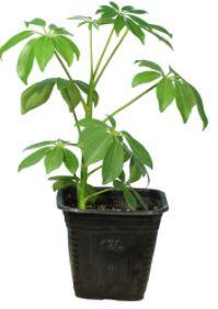گیاه در خانه-گیاه طبیعی شفلرا سبز کد23- AS