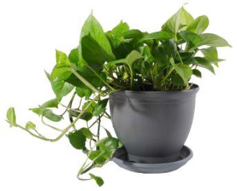گیاه در خانه-گیاه طبیعی پتوس مدل P-12
